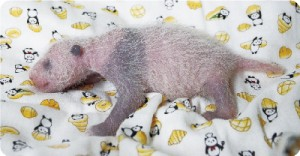Xiang Xiang(Baby)