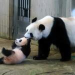 xiang xiang and xin xin 2