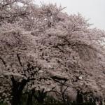 桜上野2_s