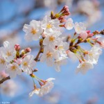 上野 桜2020